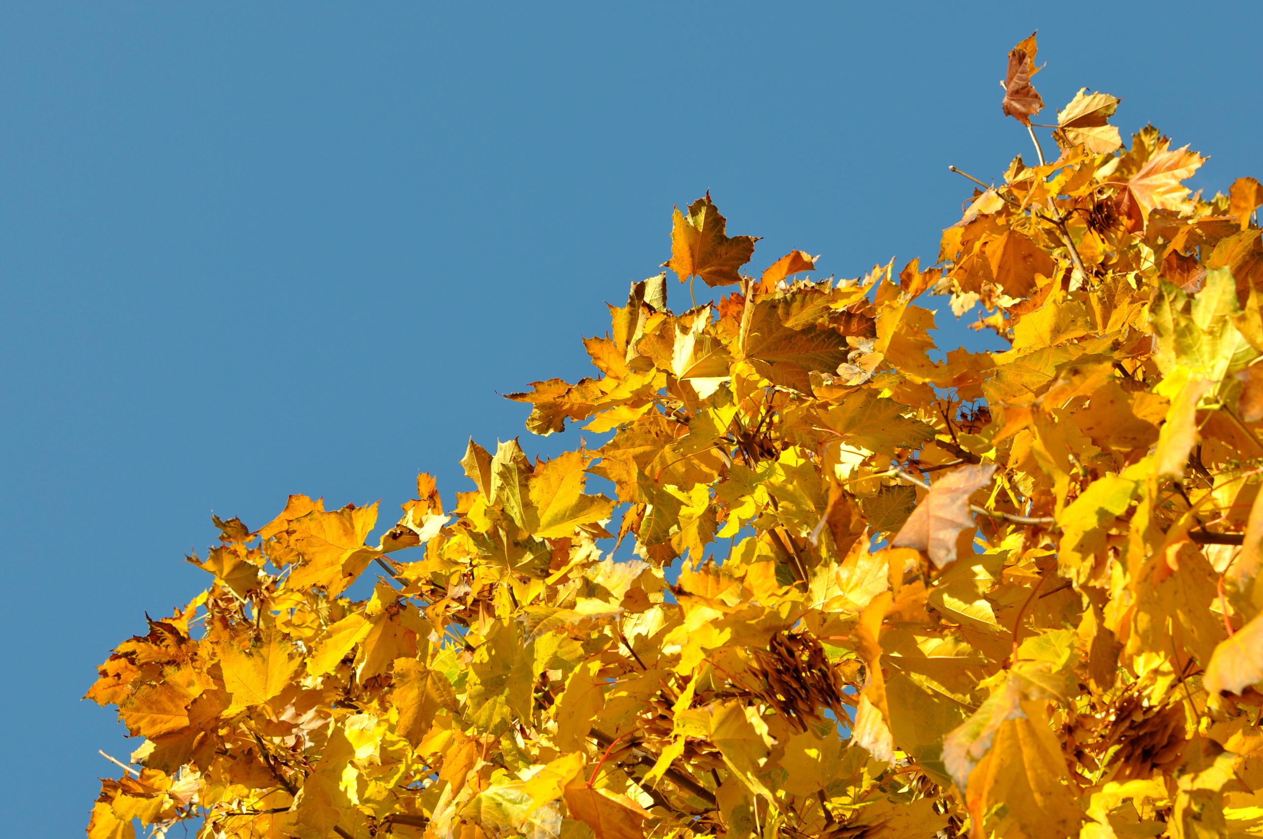 Żółte liście jesienne na tle błękitnego nieba. bebuszka.pl