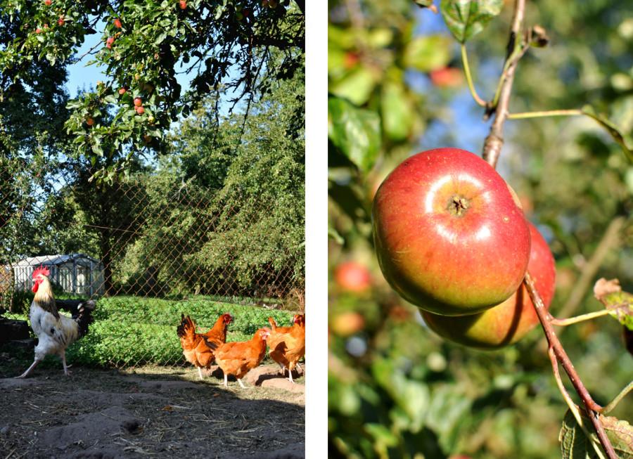 Jesień w sadzie. Kury. Piękne polskie jabłka. slowsood bebuszka.pl
