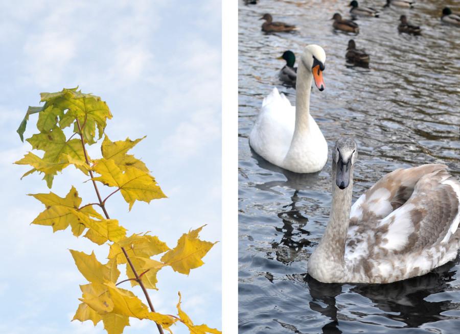 Koszaliński park jesienią. Jesienne liście i łabędzie. bebuszka