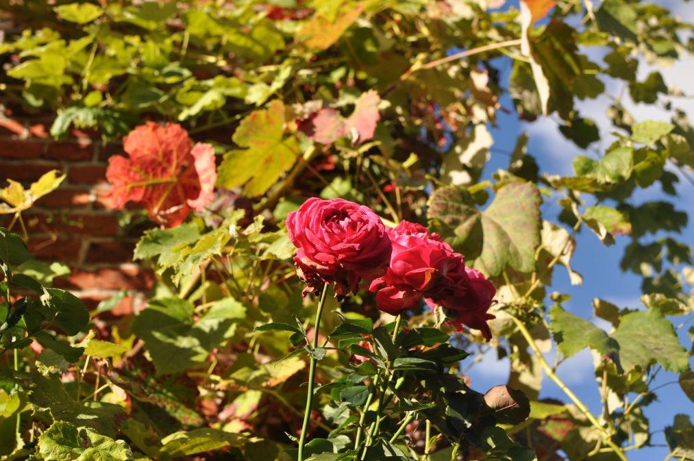 Jesienne zdjęcia. Róże.