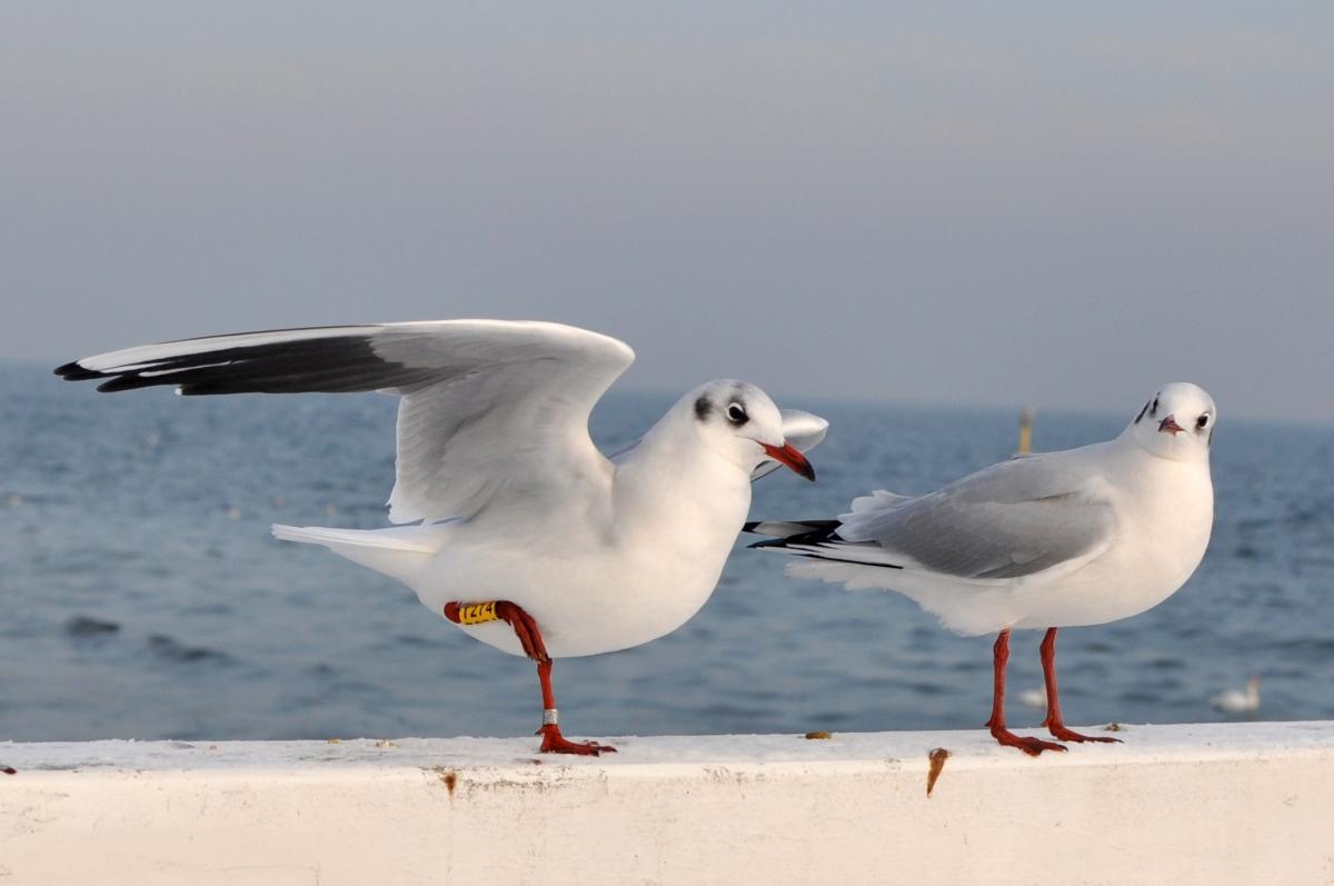 Gdynia Orłowo mewy na molo