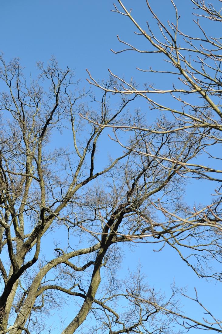 Zimowe drzewa bez liści. bebuszka