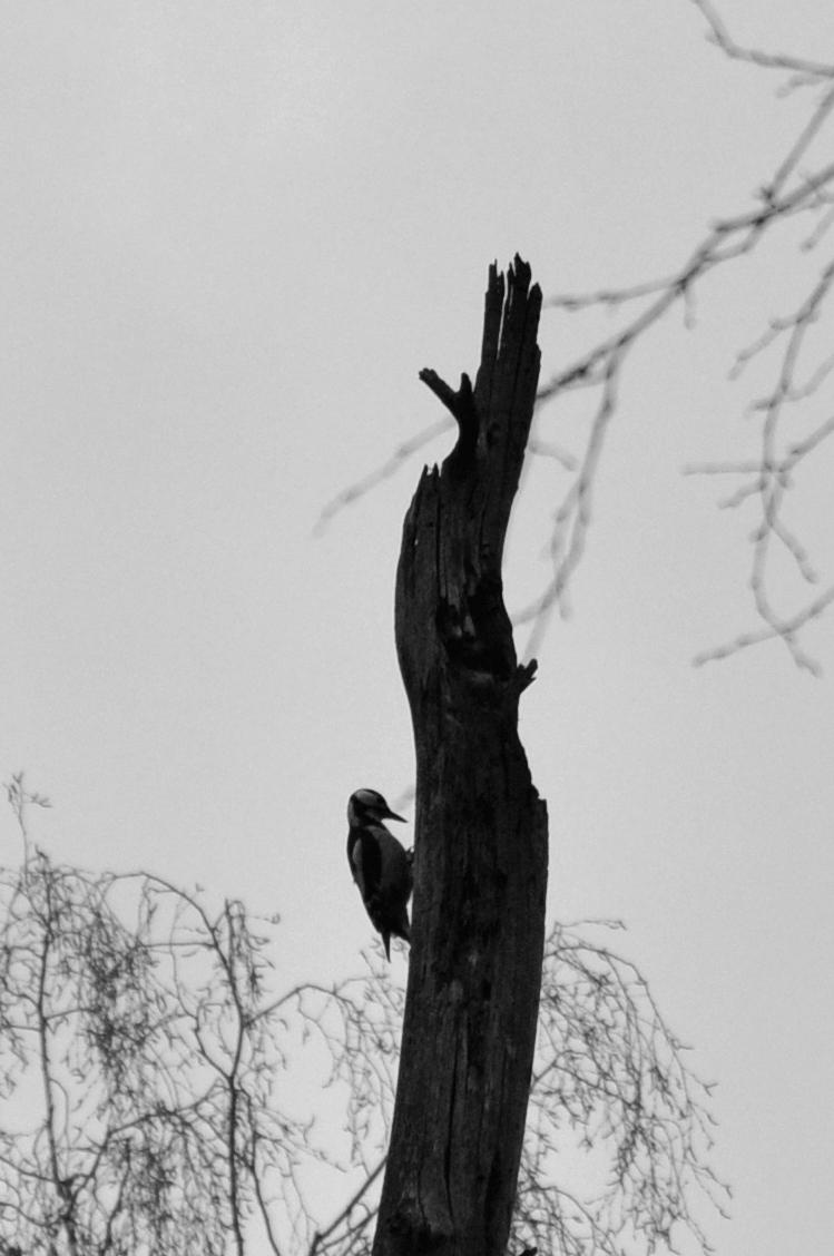 dzięcioł. Zimowa fotografia. Czarno-białe zdjęcie. bebuszka