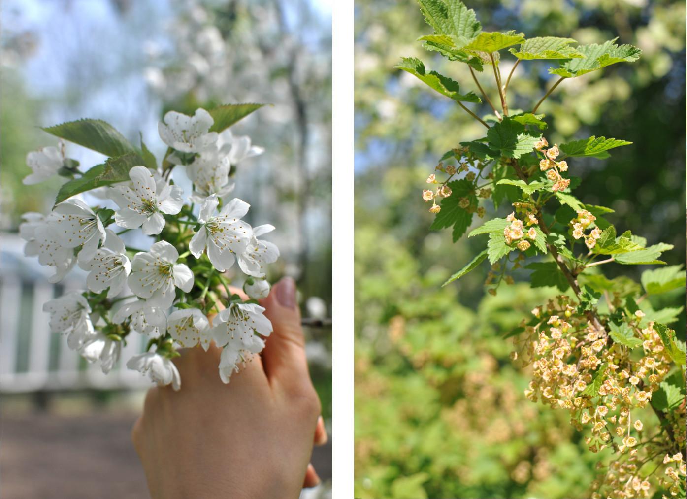 ogród, kwitnące drzewa owocowe, wiosna, slowfood
