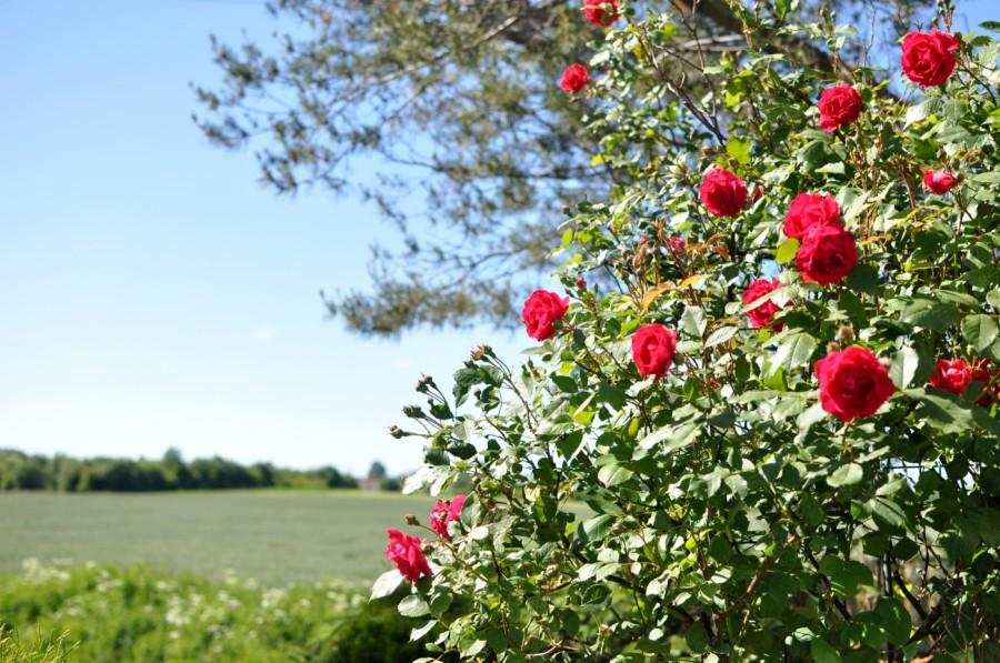róże krajobraz bebuszka