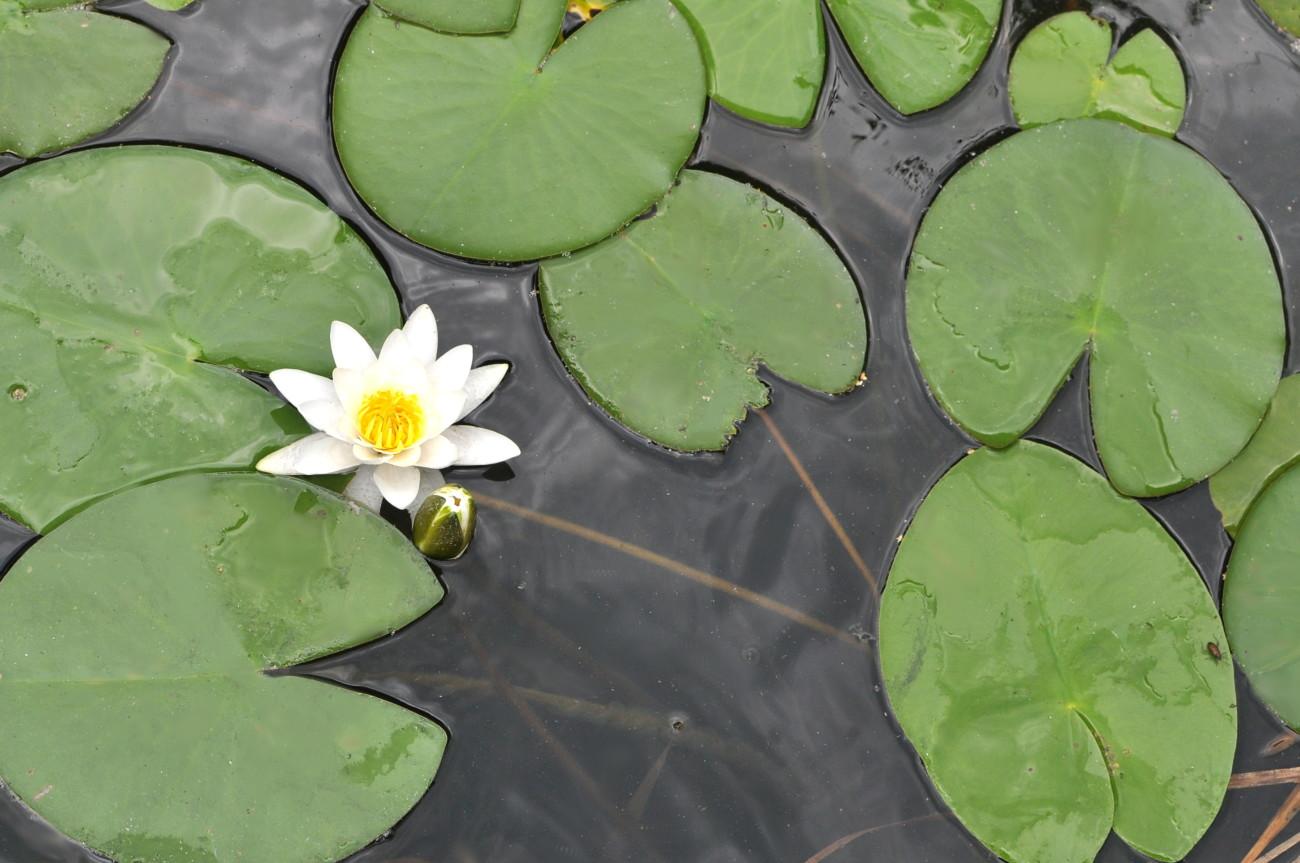 bebuszka slowlife lilie wodne