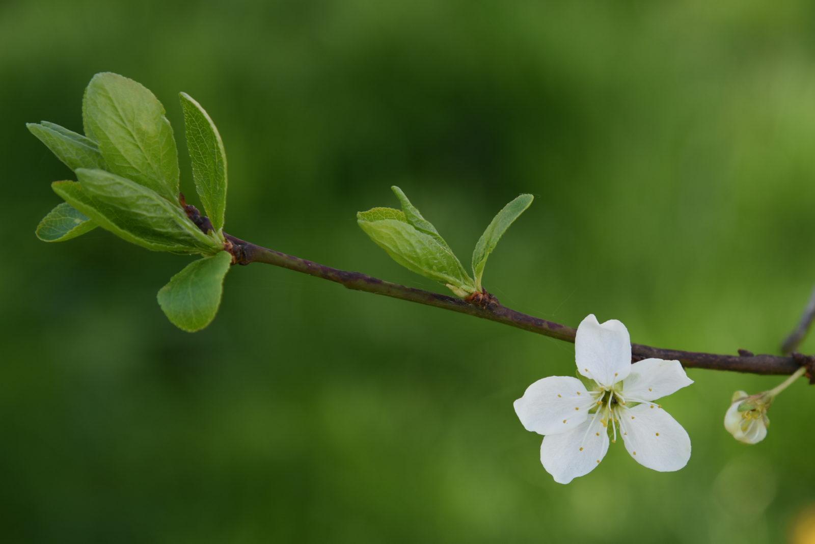 bebuszka, wiosna, przyroda