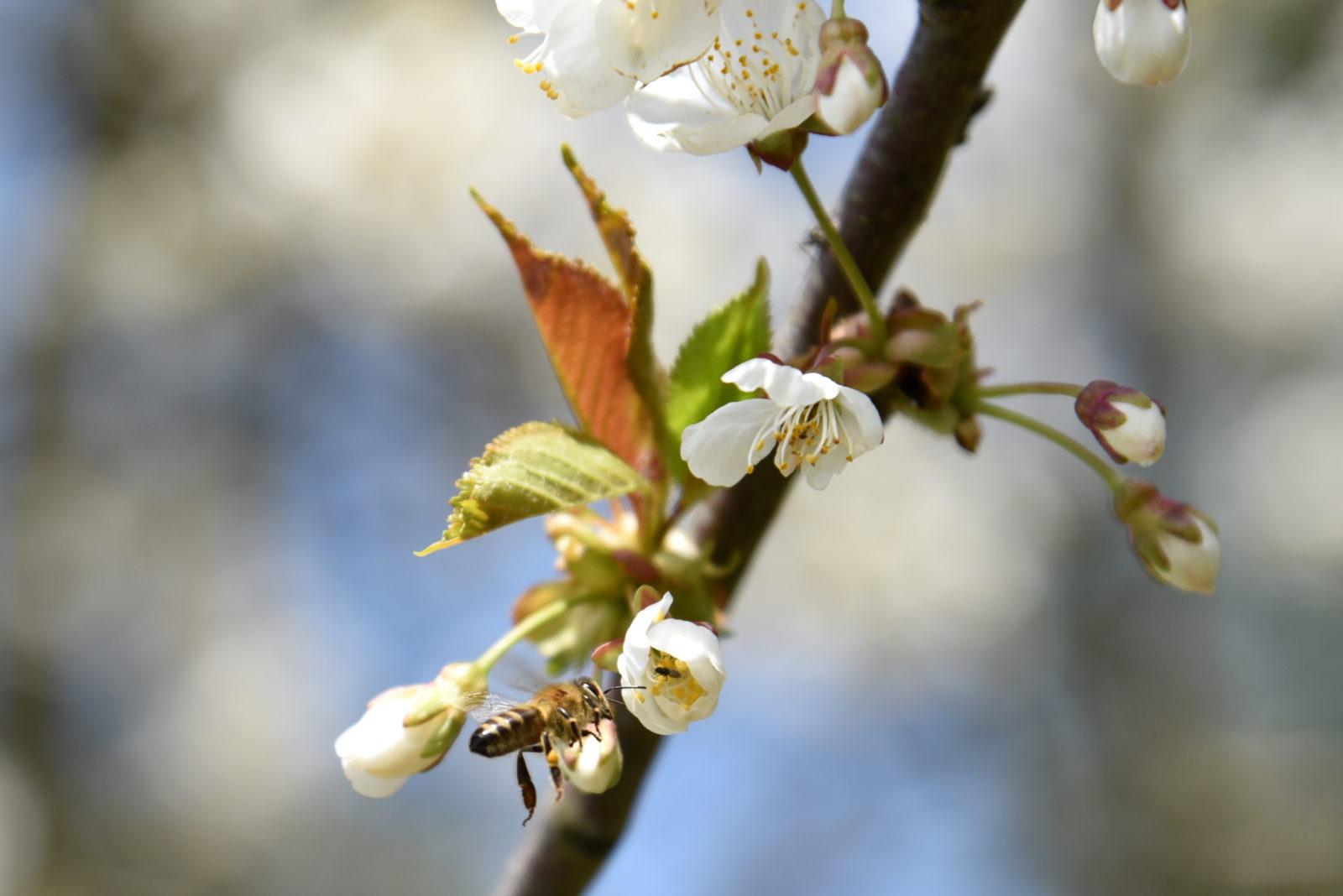 wiosna natura pszczoła bebuszka